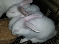 Females rabbits