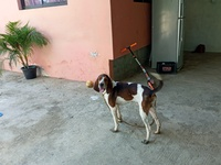 Hunting hound dogs and pups