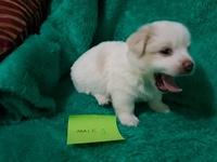 Mixed Maltese Pups