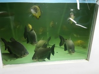 6 Red belly pacu