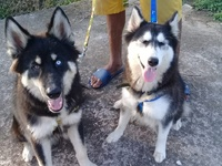 Two Huskies, Different blood line