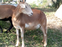 West African sheep