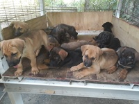 Mastiff and German Shepard Puppies
