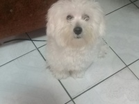 8 months old maltipoo x poodle