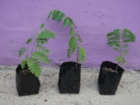 Sweet Tamarind, Ceyenne Guava and Sweet Five Finger Plants