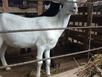 Best Quality Anglo and Saanen goats