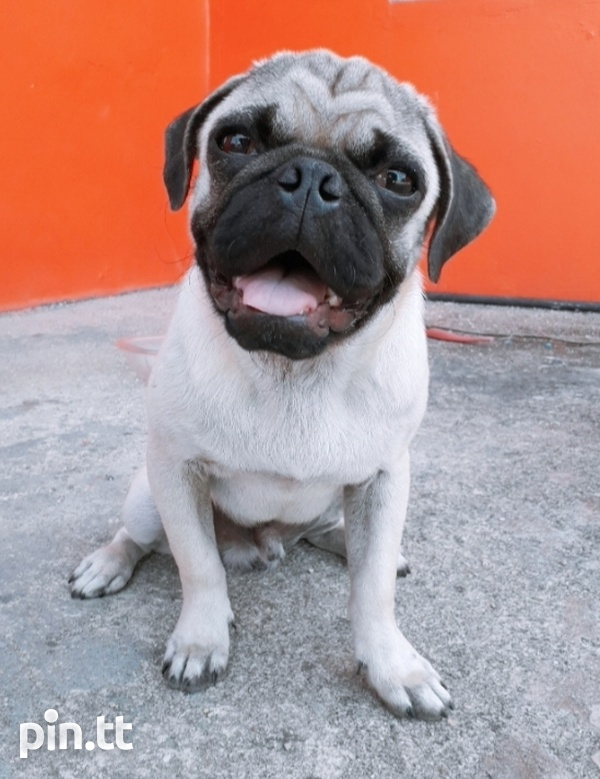 1 MALE PURE BRED PUG PUP