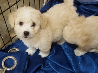 Adorable Toy Poodle Puppies.