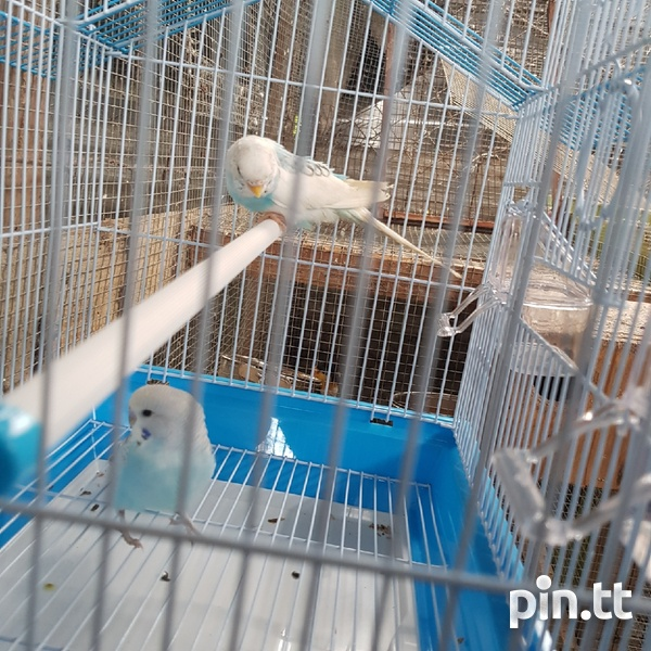 Budgies and cage-1