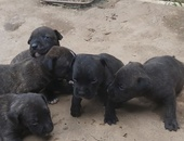 1 Blue Bully Brindle Pup male remains