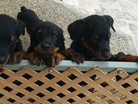 Registered Rottweilers