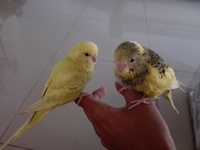HandTamed budgies, wings not trimmed, Gasparillo