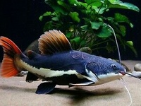 Two red tail catfish