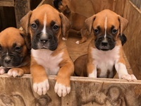 Full Bred Boxer Puppies