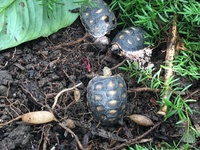 Red foot tortoise hatchlings