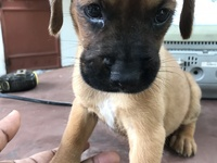 Boxer Puppies 1 male and 1 female
