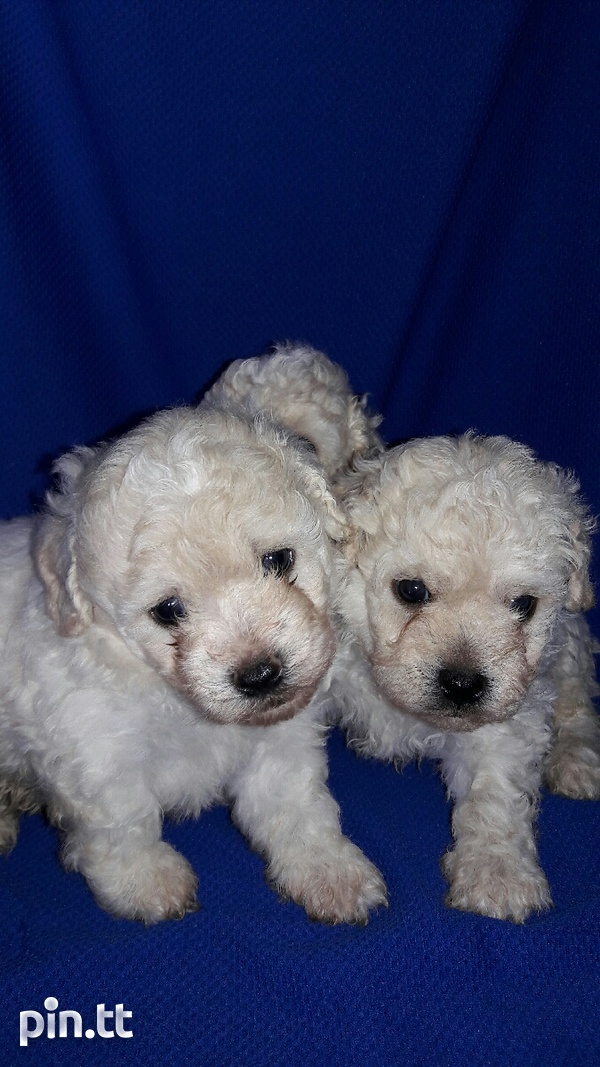 TOY POODLES-3