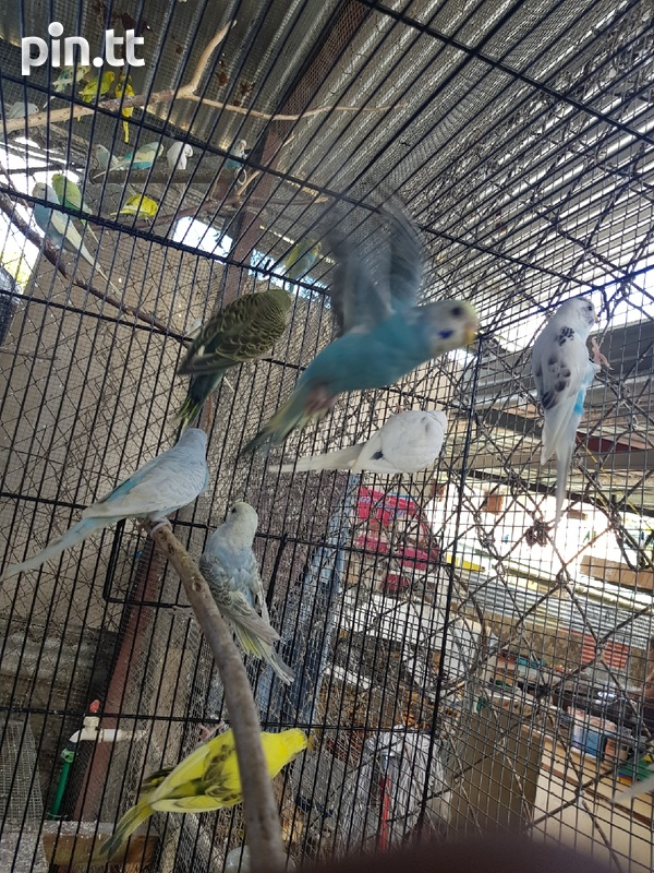 Young Budgies-1