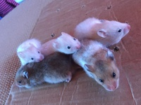 Baby Hamsters serious enquiries only