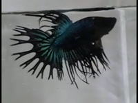 Crowntail Fighter - Black and Blue