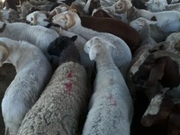 Matured Rams Available- CHRIS FARMS