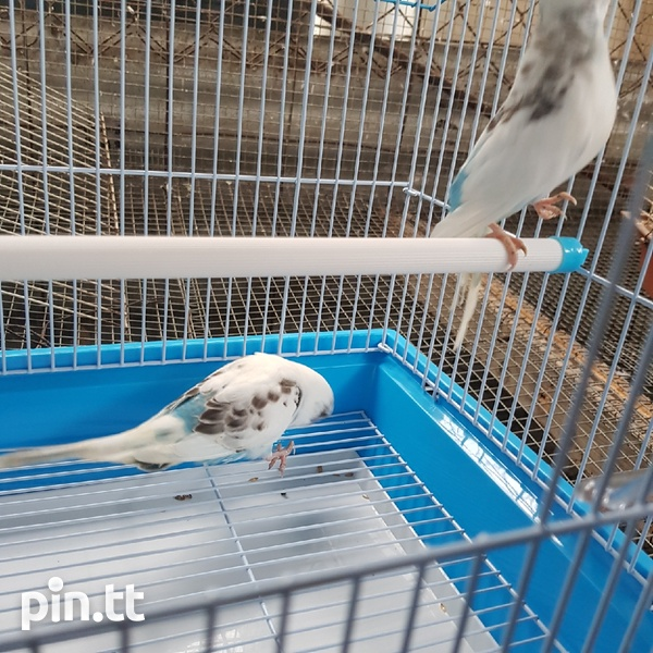 Budgies and cage-6