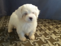 Absolutely Adorable Maltipoo Puppies