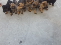 Pure breed German Shepherd