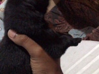Pure Breed Shepherds